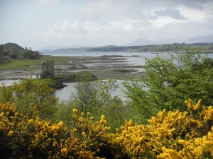 Castle Stalker, gorse in bloom